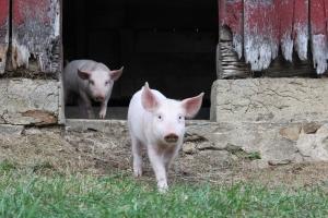 Pigs in Barn