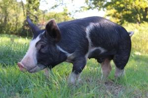 Hank the Pig